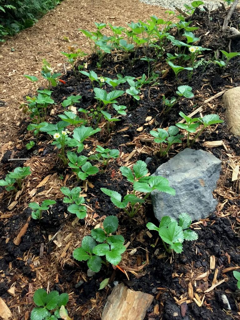 hügelkultur mound strawberry plants